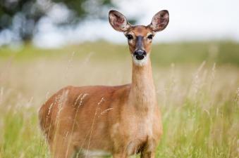 roe-deer-1367182_1280